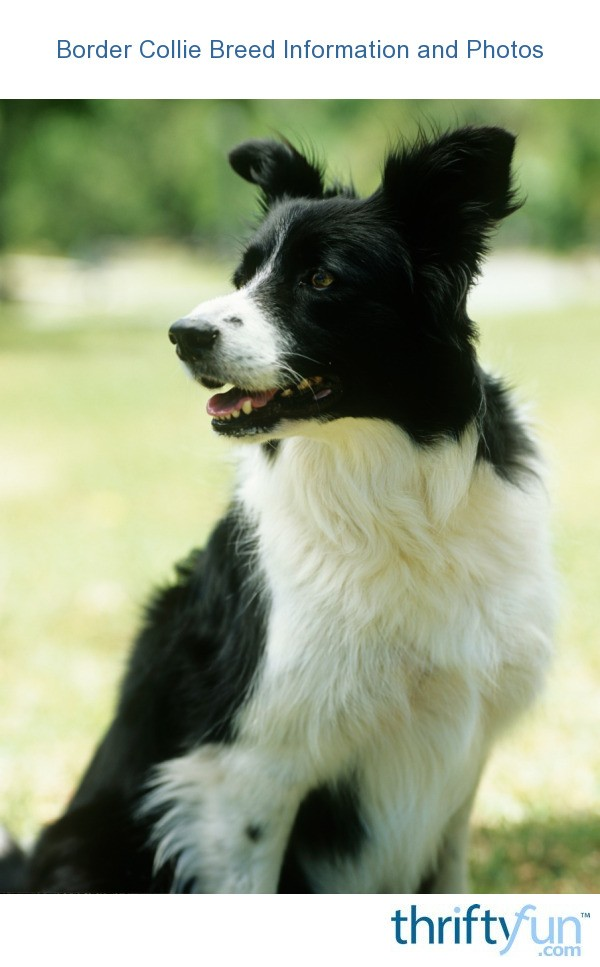White And Border Collie Gray