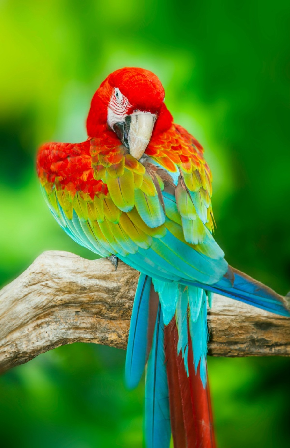 Green Red Feathers Macaw And