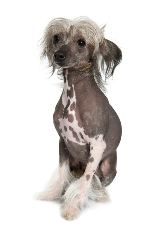 Hairless Chinese Crested Breed Information and Photos ...