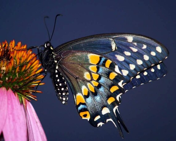 Eastern Black Swallowtail Butterfly: A photographic print