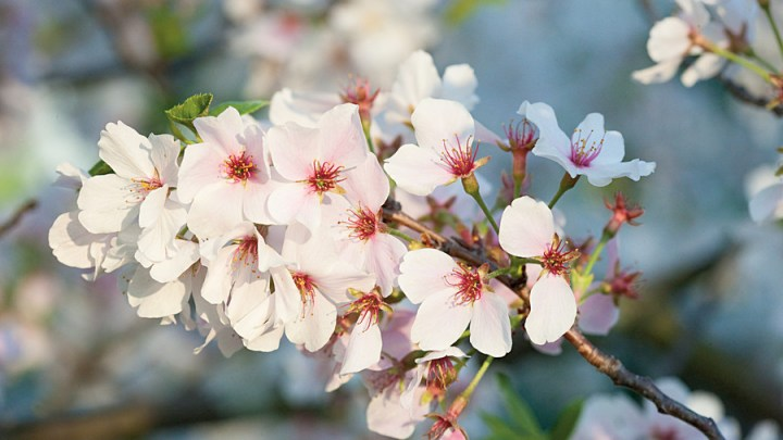 Growing Cherry Blossoms   Southern Living Yoshino cherry trees are the best cherry trees for the south
