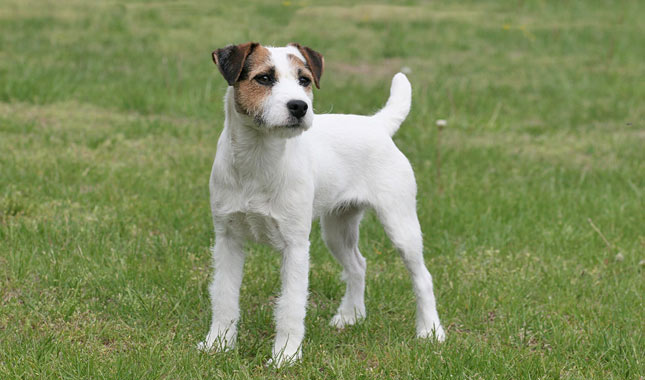 Parson Russell Sale Terriers