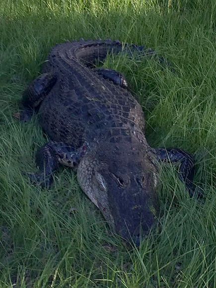 Florida Man Attacked by 9-Foot Alligator One Hour from ...