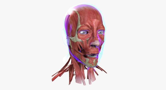 Medical Full Face Diagram Enthusiast Wiring Diagrams