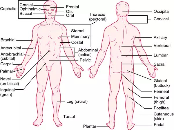 Anatomical Positions Inside Body