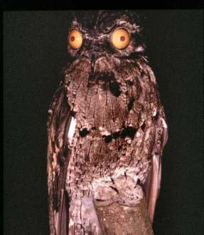 10 Interesting Facts About The Great Potoo  A Truly Cartoonish Bird     Potoo Birds Were Everywhere Du    is listed  or ranked  10 on