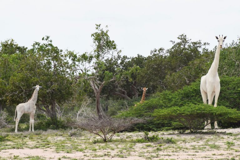 Poachers kill two rare white giraffes