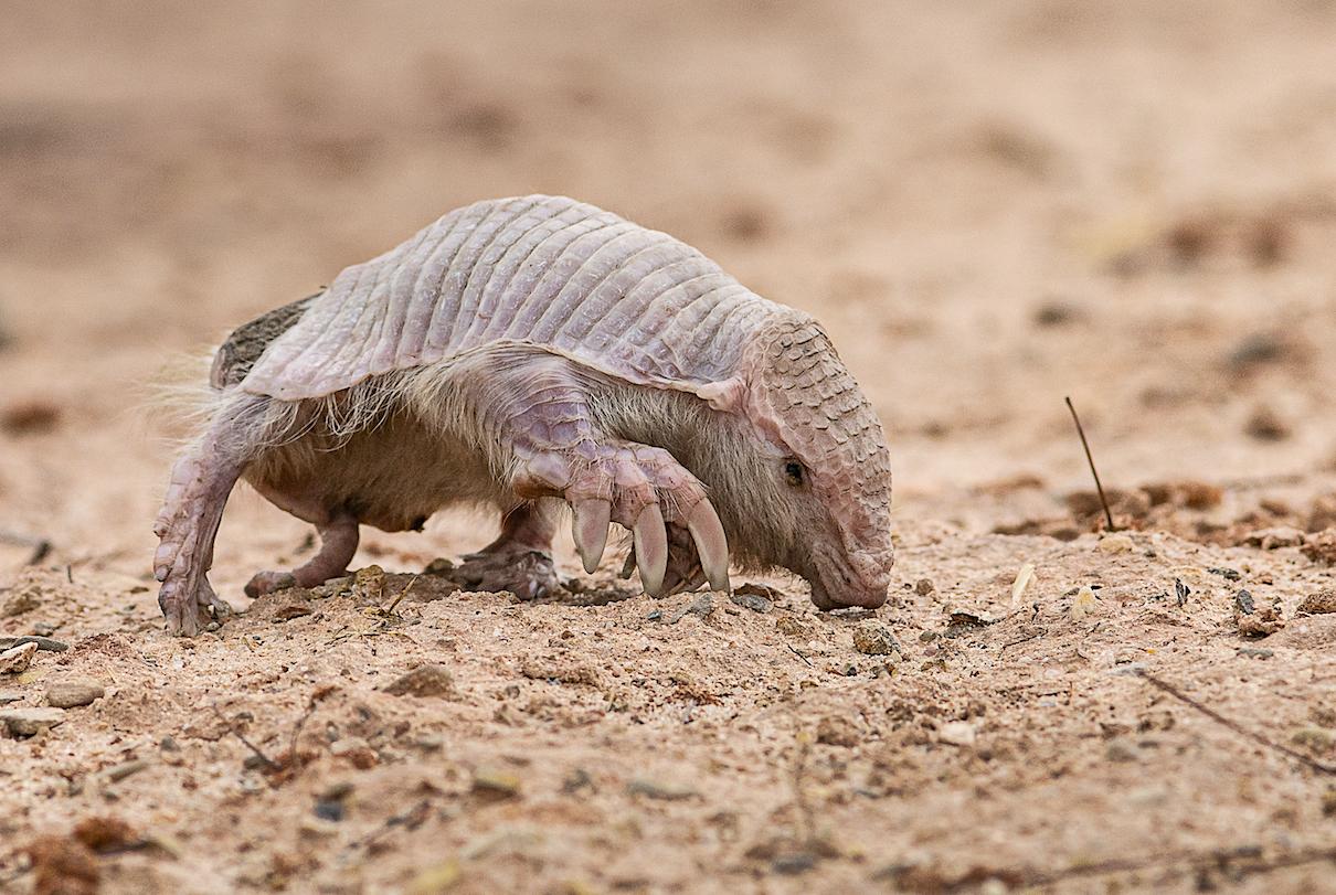 Sighting of super rare Chacoan fairy armadillo in Bolivia 'a dream come true'