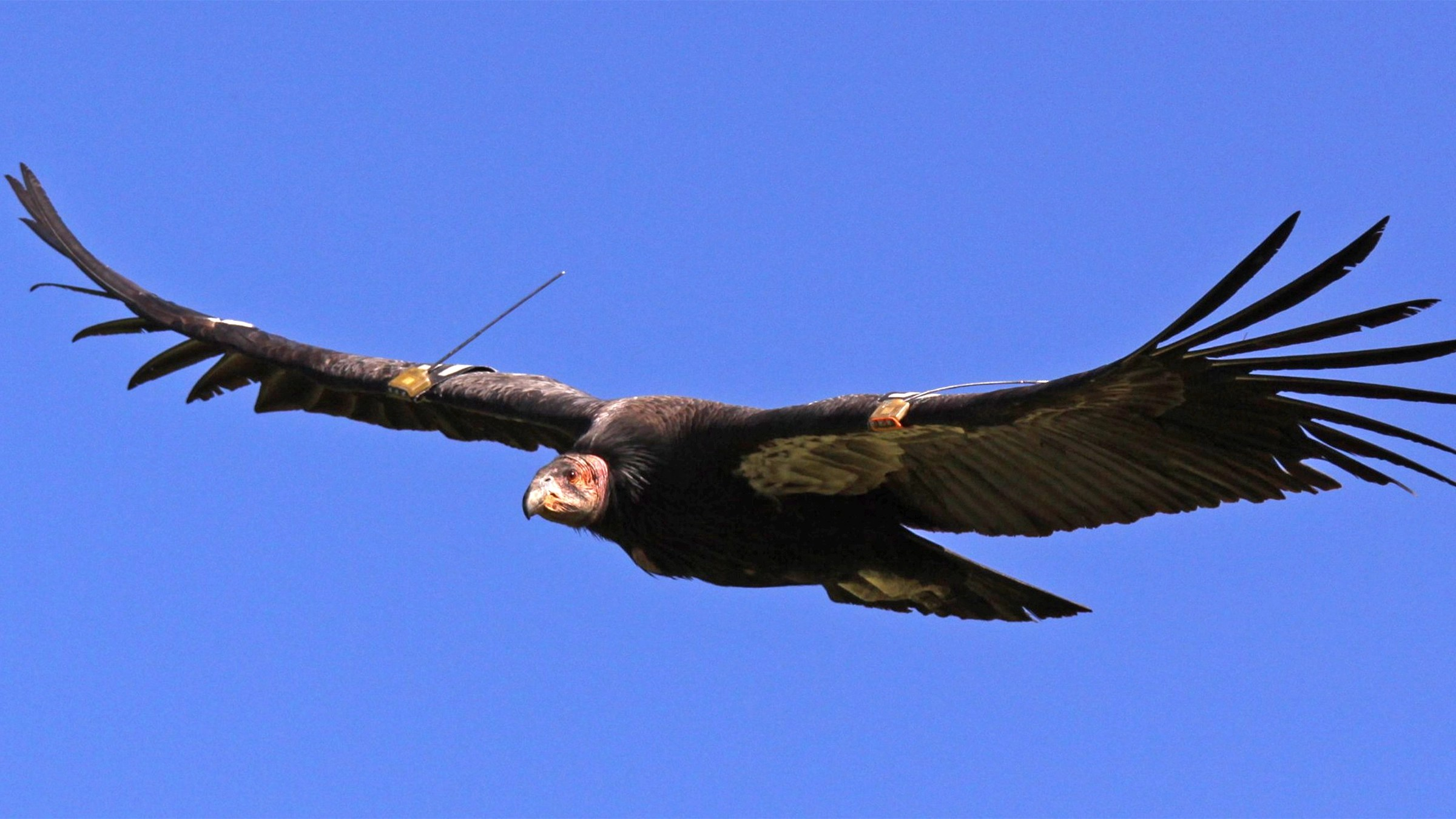 Thanks to the Yurok Tribe, condors will return to the Pacific Northwest