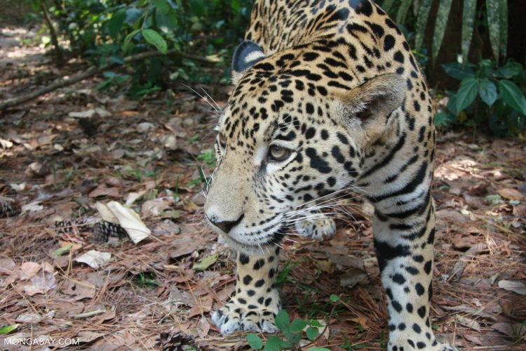 Fire and forest loss ignite concern for Brazilian Amazon's jaguars