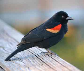 Red-winged Blackbird – Indiana Audubon Society