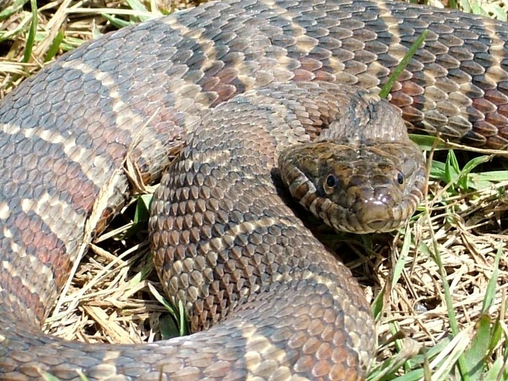 Ohio Water Moccasin Snake