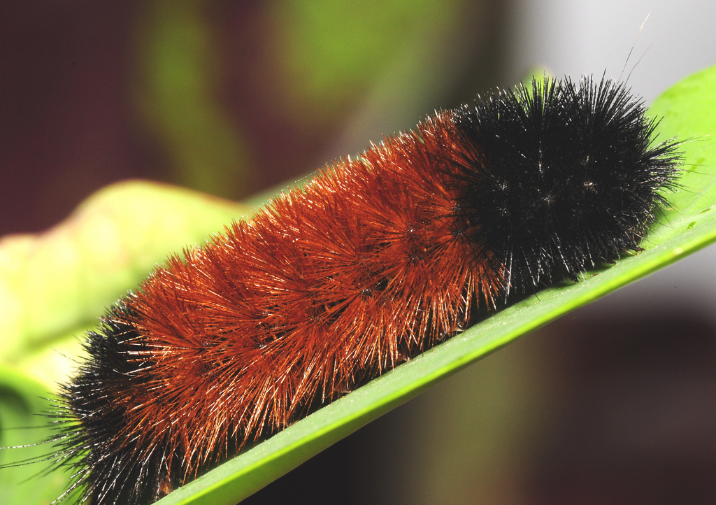 Fuzzy Wooly Bear Caterpillar
