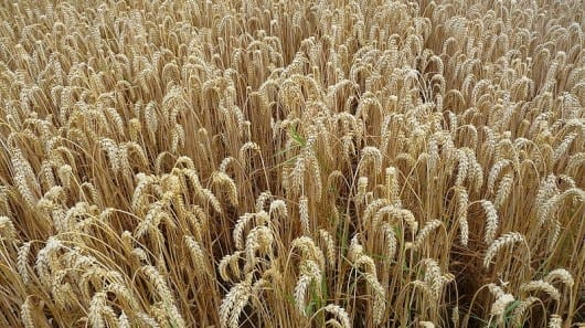 Wheat genome sequenced superior types of wheat could result