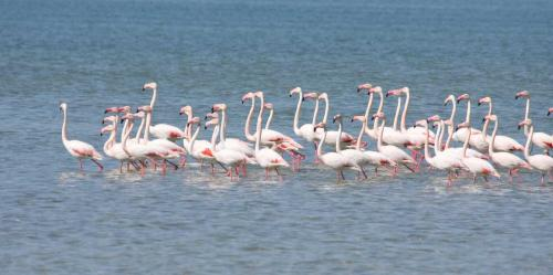 Missä flamingo elää ja miten?