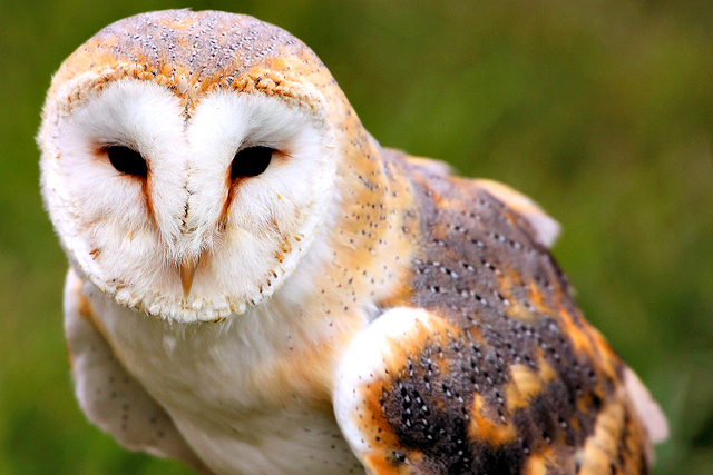 Barn Owl Facts! | Fun Facts You Need to Know!