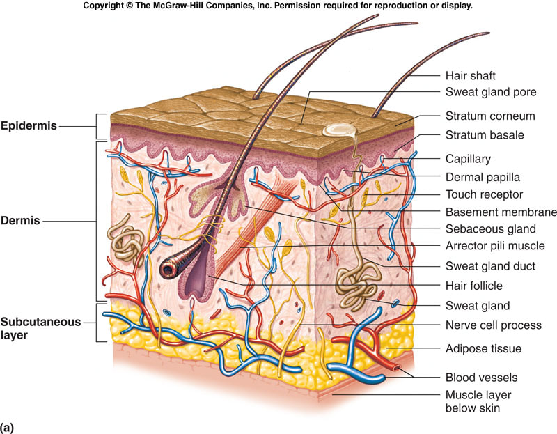 The 3 Structures Of Integumentary System