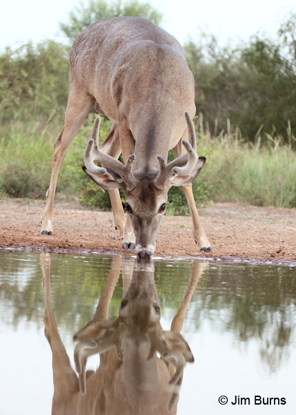 Drinking Deer Pond