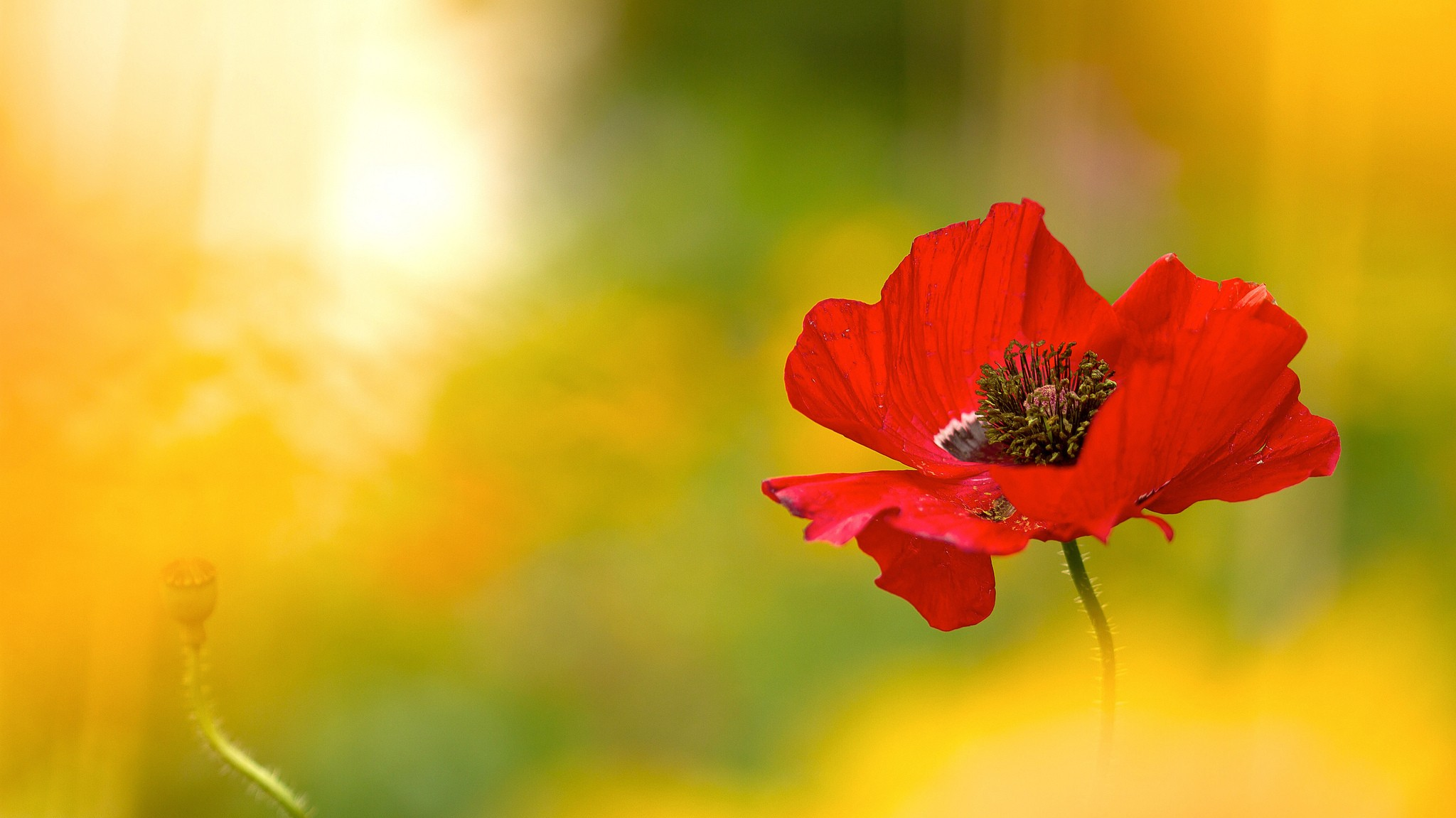 Free photo  Red poppy flower   Poppy  Red  Park   Free Download   Jooinn Red poppy flower