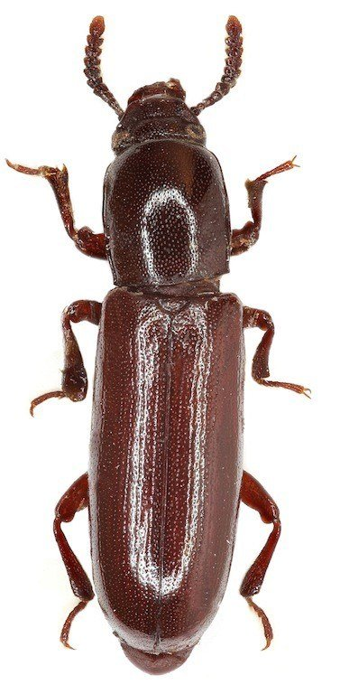 Best Cabinet Beetle Control Www Stkittsvilla Com With Pictures