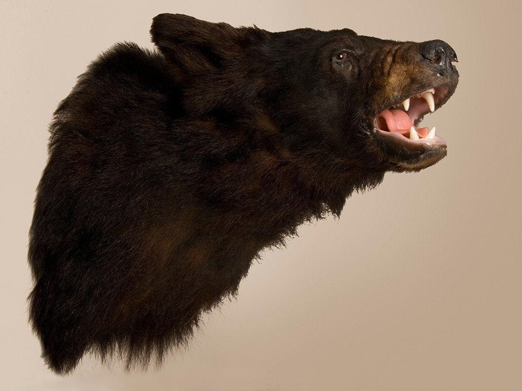 Best Bear S Head With Pictures