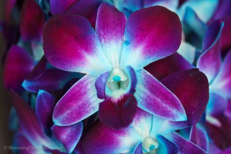 Best Purple And Blue Orchid Close Up Flowers Pinterest With Pictures