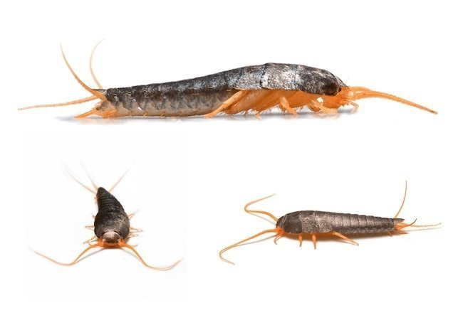 Best How To Get Rid Of Silverfish Bob Vila With Pictures