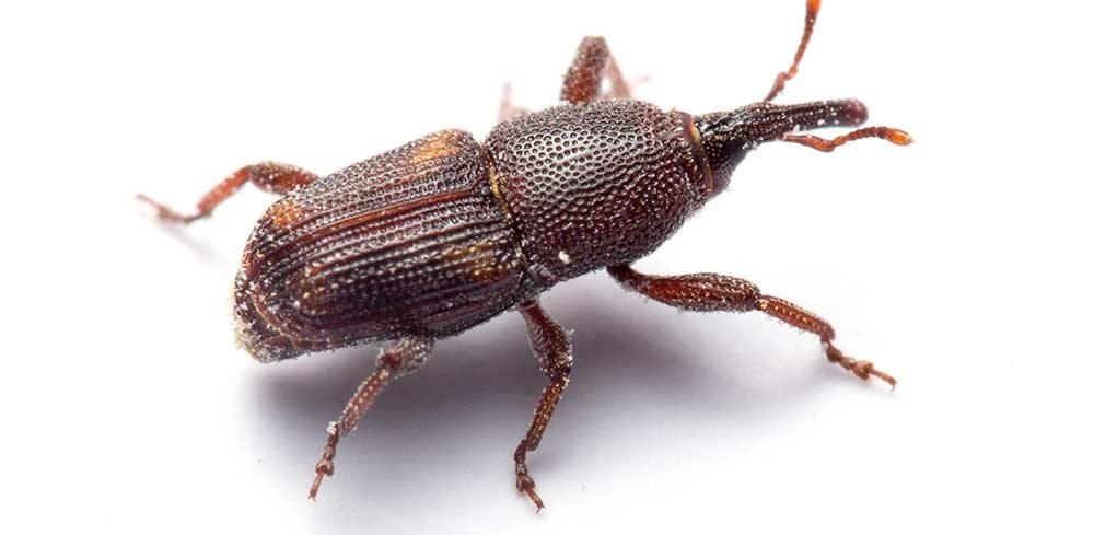 Best Weevils Found In Bedroom Nakedsnakepress Com With Pictures