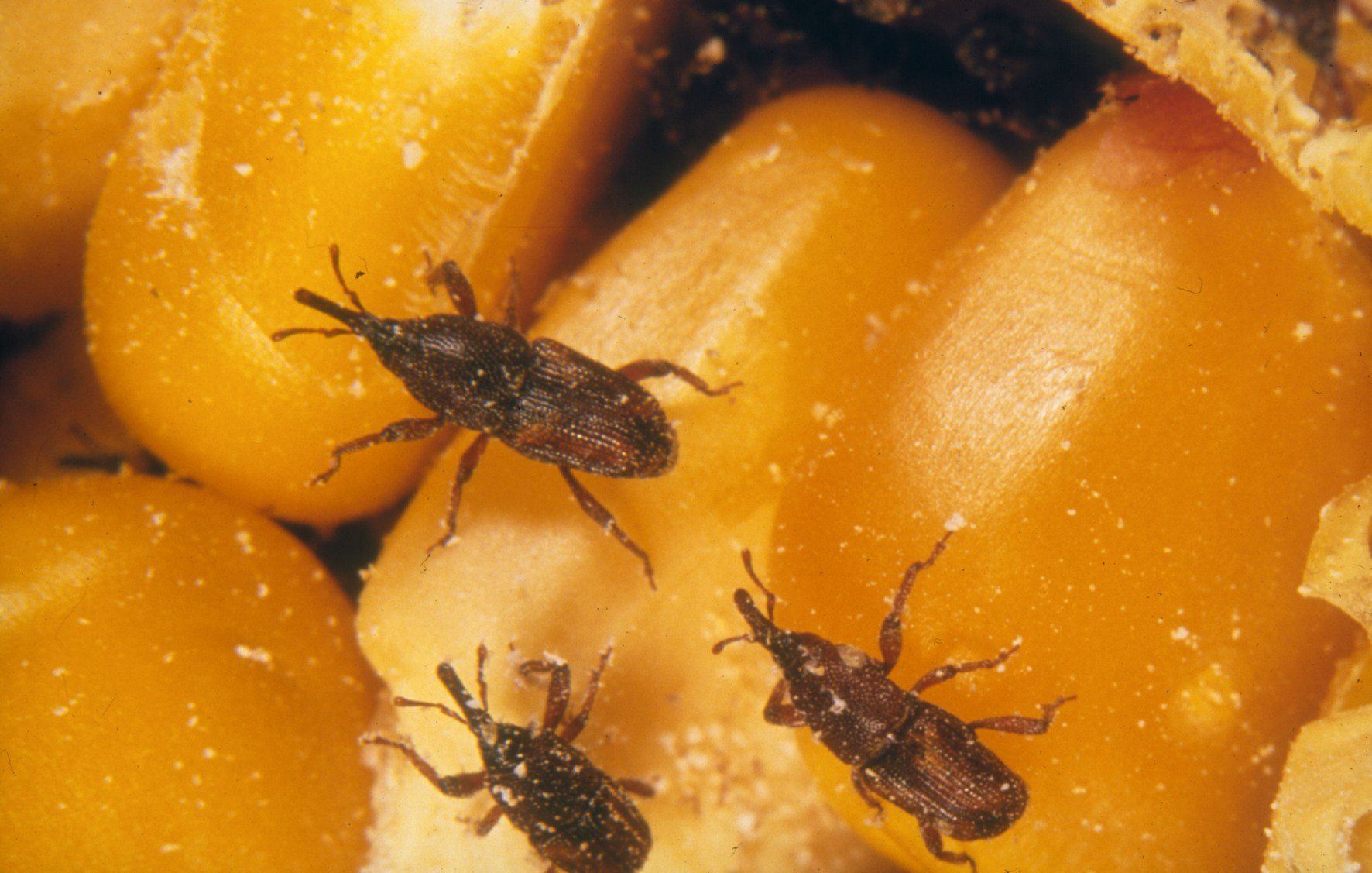 Best Pantry Pests Eco Care Pest Management With Pictures