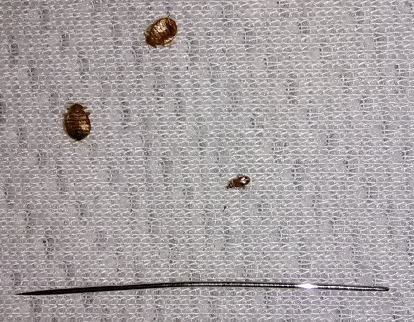 Best Tiny Black Bugs That Bite Carpet Beetle Infestation Got With Pictures