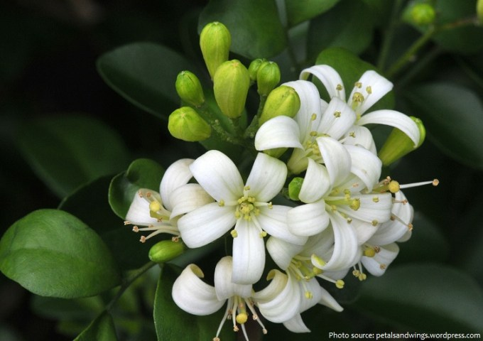 Interesting facts about jasmine   Just Fun Facts jasmine flowers