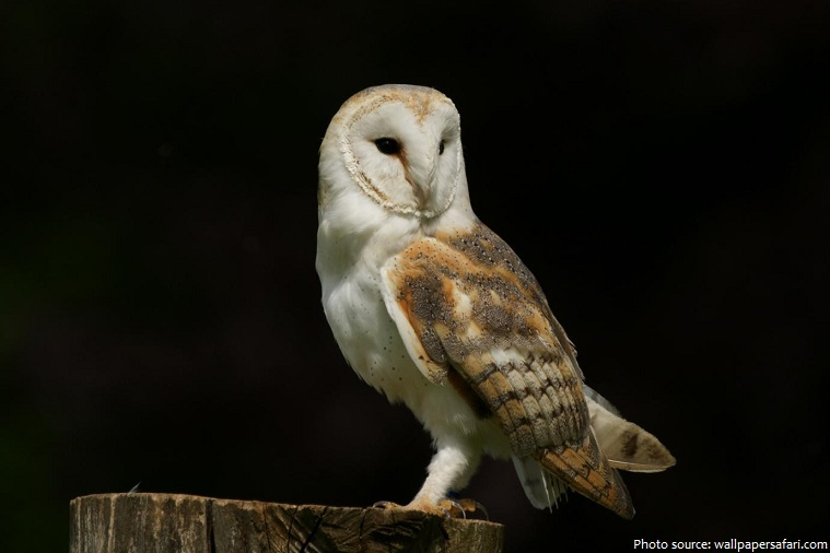 Interesting facts about barn owls | Just Fun Facts