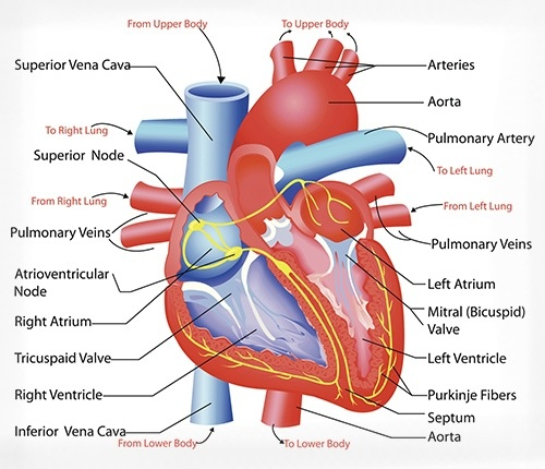 The Heart and Circulatory (Cardiovascular) System in ...