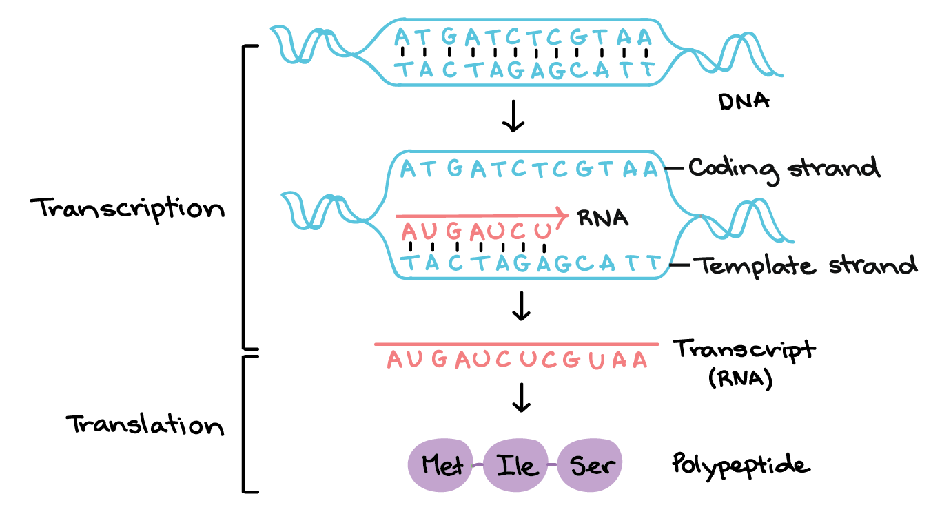 What Molecule Does Transcription Produce