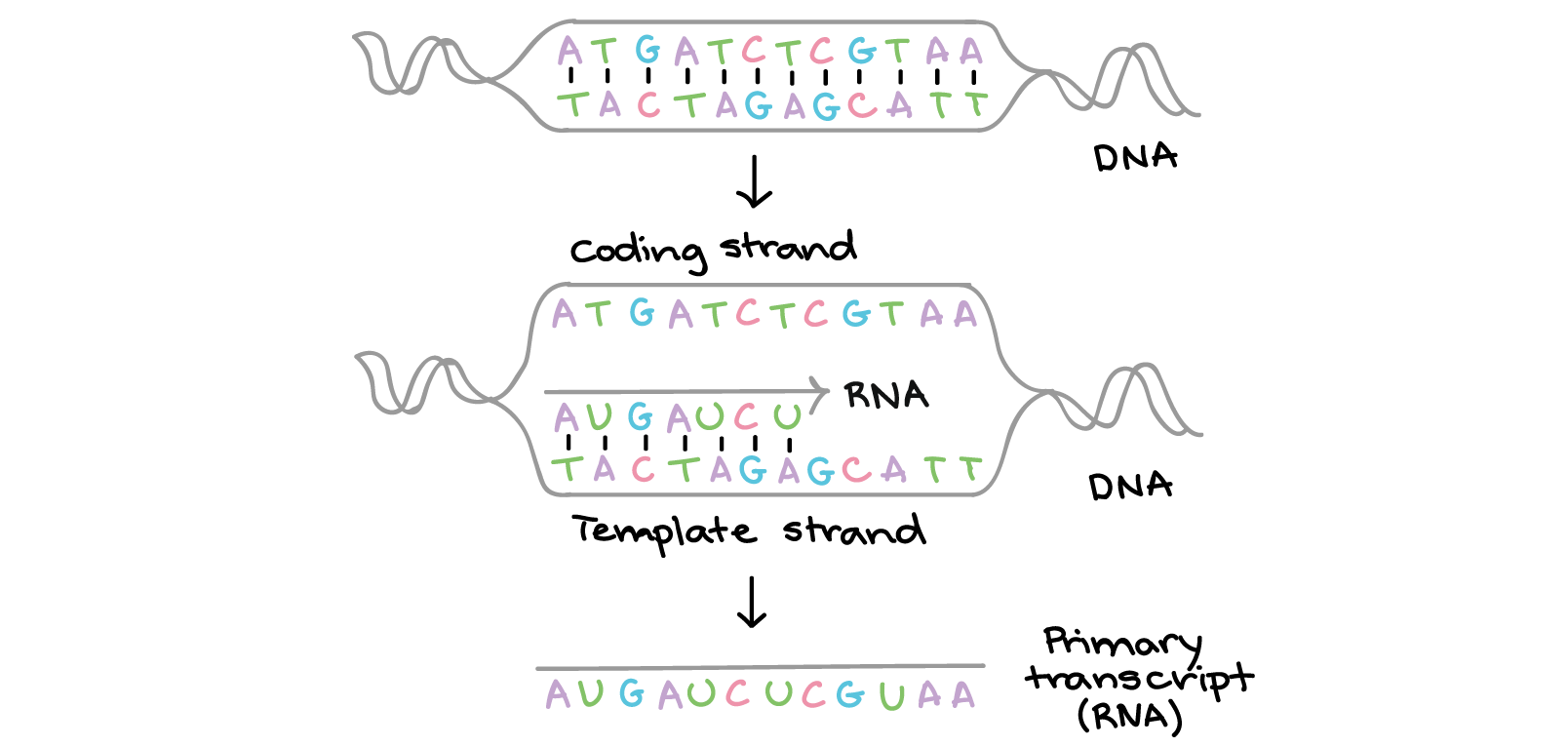 Rna And Dna Structure Worksheet Answers