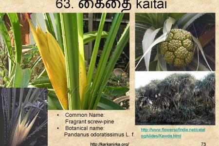Best poppy flower kewda flower in hindi poppy flower poppy flower kewda flower in hindi mightylinksfo