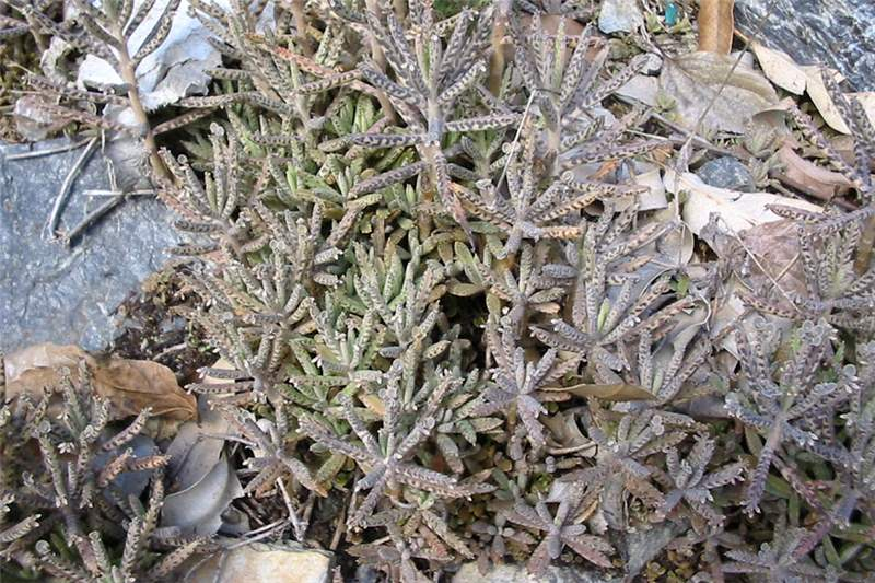 Thousands Plants Succulent Mother