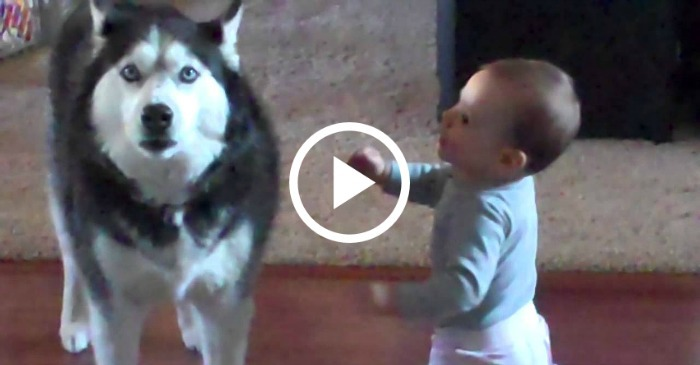 Apparently This Baby And Husky Speak The Same Language