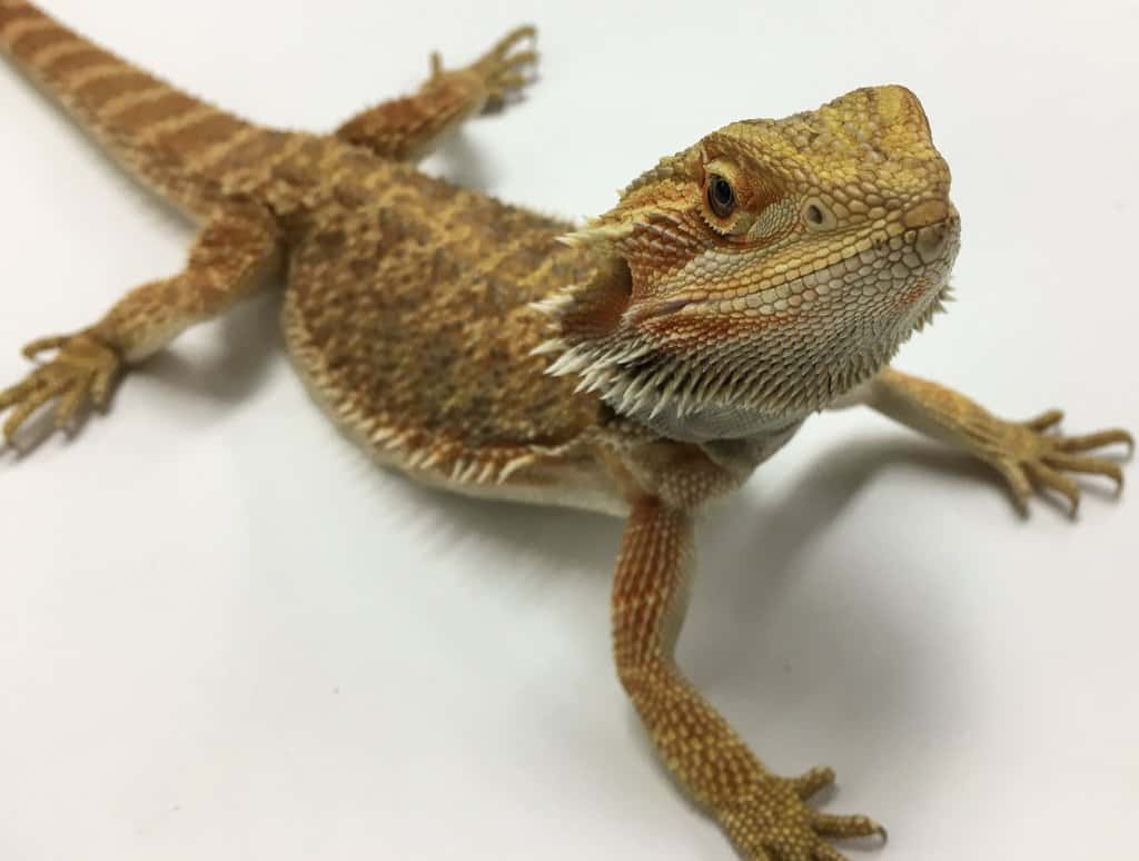 Bearded Dragon Facts, Worksheets, Species, Habitat, Diet ...