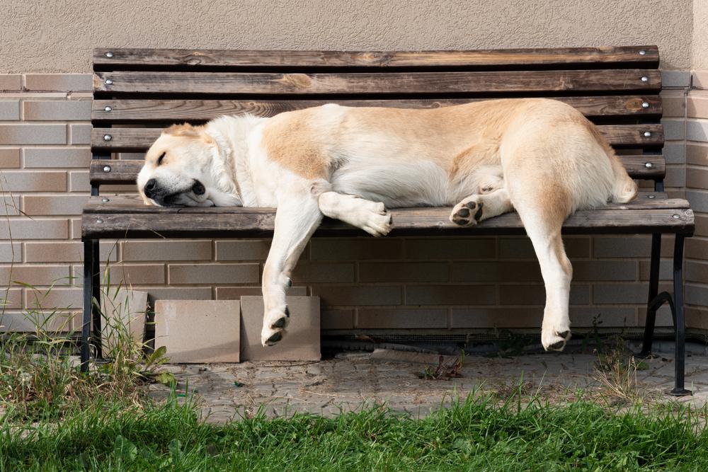 Los perros más grandes del mundo: Alabai.
