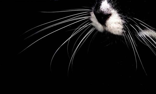 Bagaimana untuk membantu kucing tanpa misai