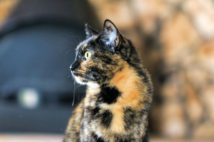 Kedilerde bolsuz tükürüklerin önlenmesi