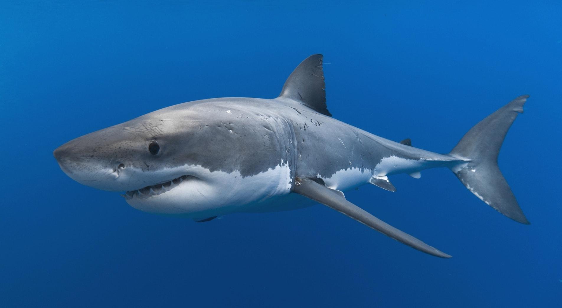 Köpekbalıkları - Ahtapotun ana düşmanlarından bazıları