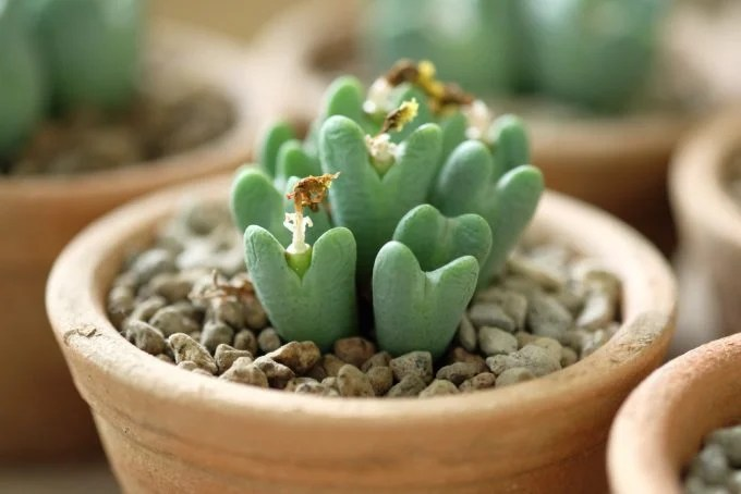 Conophytum Bilobum Plant - Succulent Plant Tiny Hearts