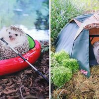 Camping Hedgehog