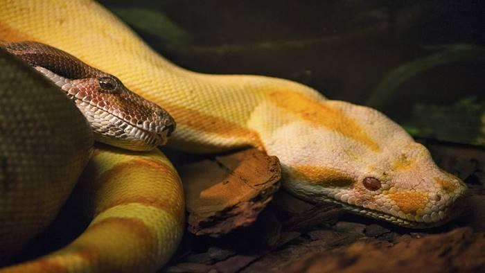 ปะหลาด!! ฝันเห็นงูเหลือมเผือกตัวใหญ่ แฝงความหมายอะไรไว้?