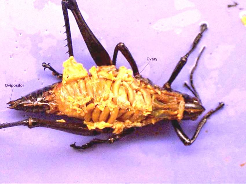 grasshopper internal dissection - 850×638