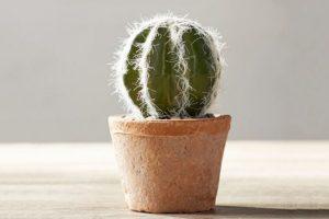 Kukat ja kasvit, jotka houkuttelevat rahaa taloon - kaktus