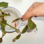 La reproduction de la rose chinoise avec des boutures - Comment propager la rose chinoise avec des boutures