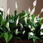Flower Dámské štěstí: domácí péče za místnost rostliny, jak transplantace, voda a jak hnojit